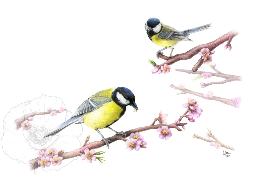Great tits (Parus major). Illustration for the cover of a Master thesis. 2017