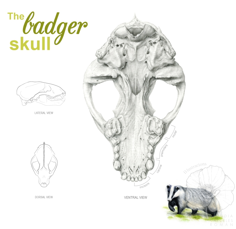 the badger skull