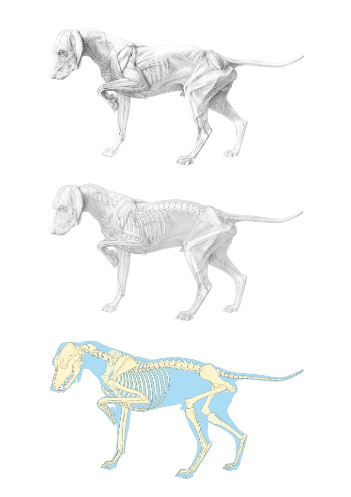 dog musculoskeletal system-01