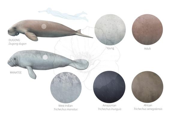 dugong-manatee-01